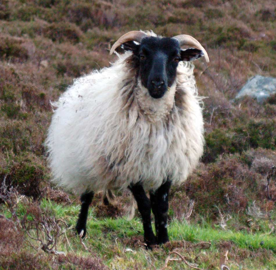 Irish Sheep Picture